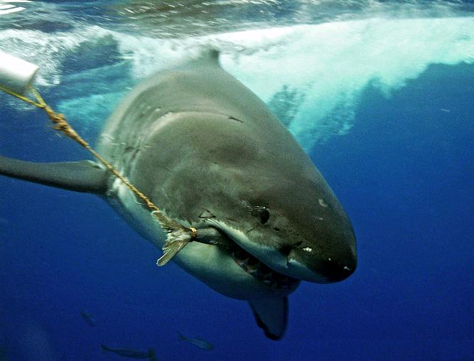 chumming for sharks in jeffreys bay jbay news